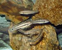 8. Первый аквариум с виттатусами