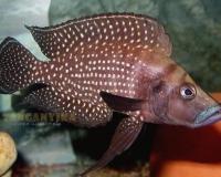 1. Altolamprologus calvus -black fin-