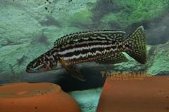 Lepidolamprologus nkambae - 26 photos