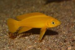 Neolamprologus leleupi -18 photos