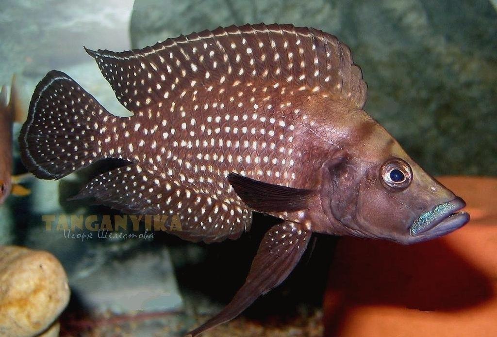 1-altolamprologus-calvus-black-fin